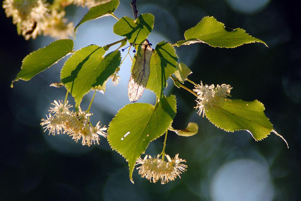 Lipa, kwiatostan, fot. Taida Tarabula /Forum