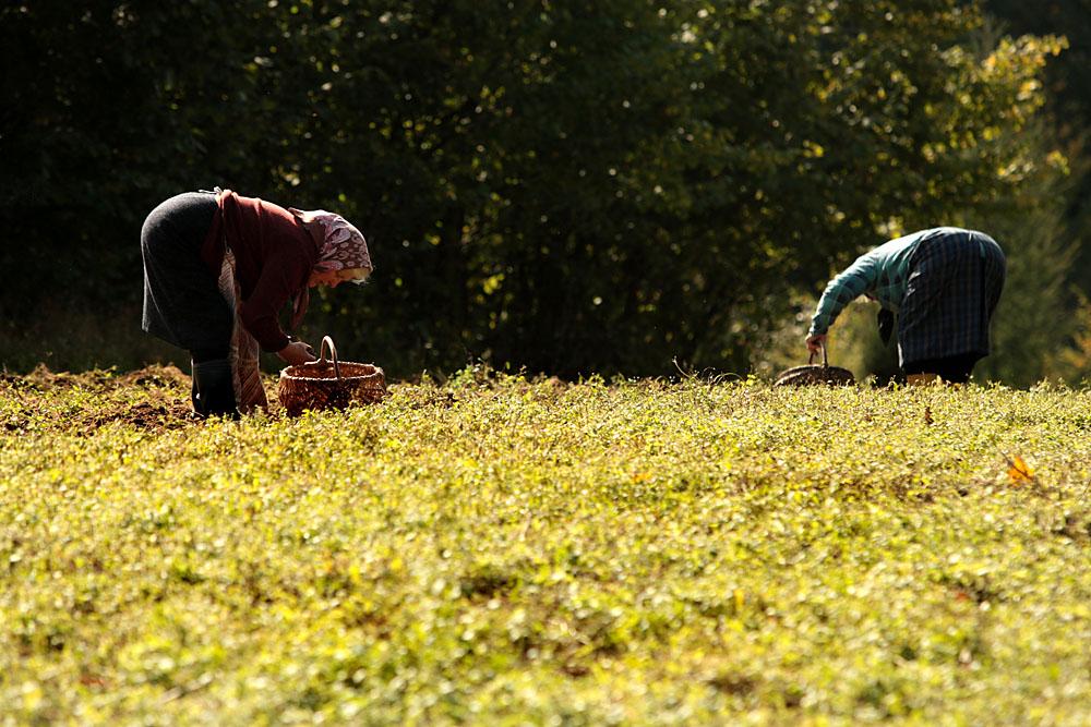 Музей люблинской деревни, показ традиционной уборки картофеля, 2009. Фото: Якуб Ожеховский/Forum