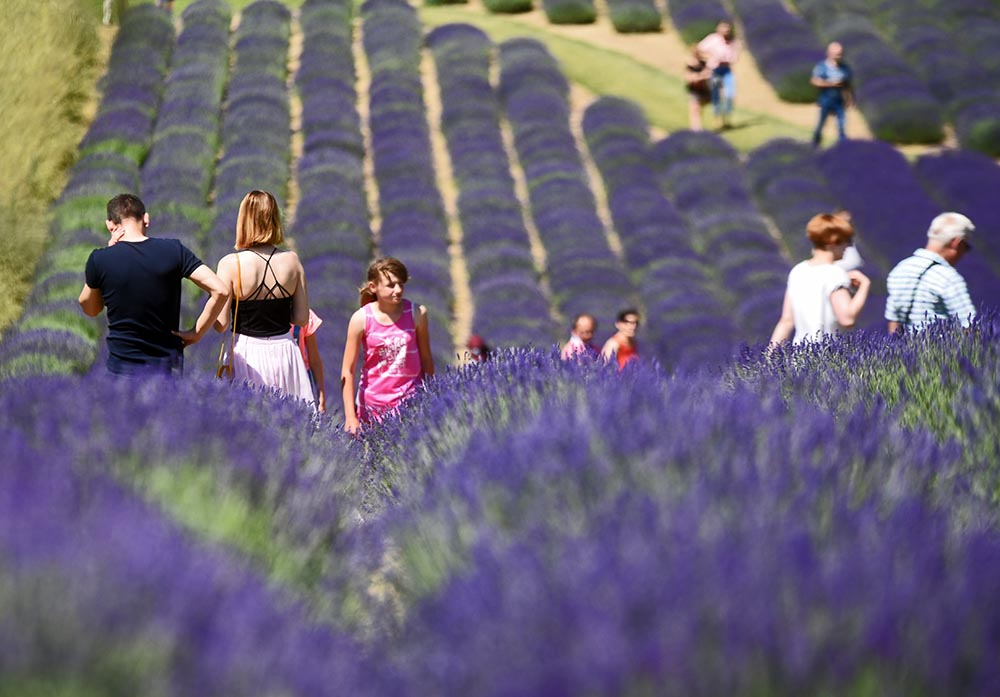 Camomile Tea Amp Lavender Fields The Polish Love Herbs Article Culture