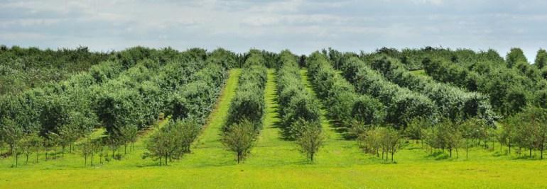 Sady owocowe w okolicach Grójca, fot. Bartosz Krupa / East News