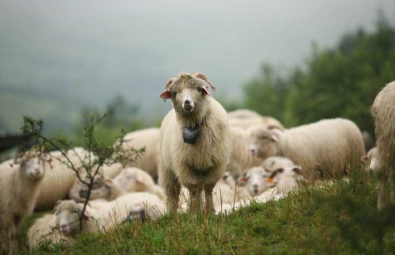 Wypas owiec na Podhalu, fot. Jola Lipka / East News