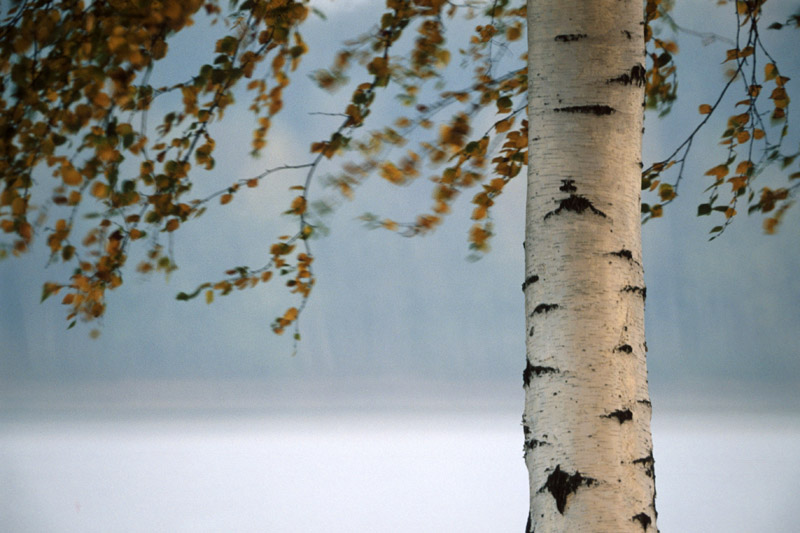 Birch tree, photo: Taida Tarabula / Forum