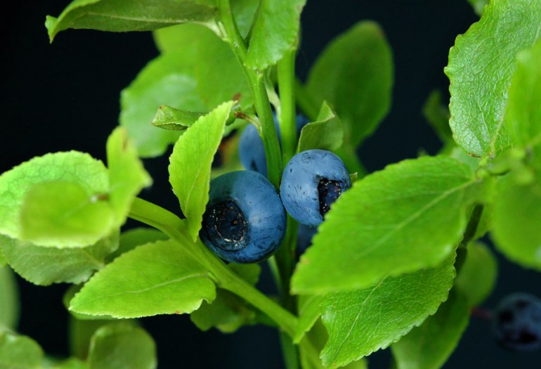 Bilberries, photo: Henryk Kościelny/Forum