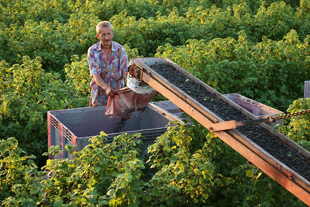 Blackcurrant plantation in Ełk, photo: Agnieszka Sadowska/AG