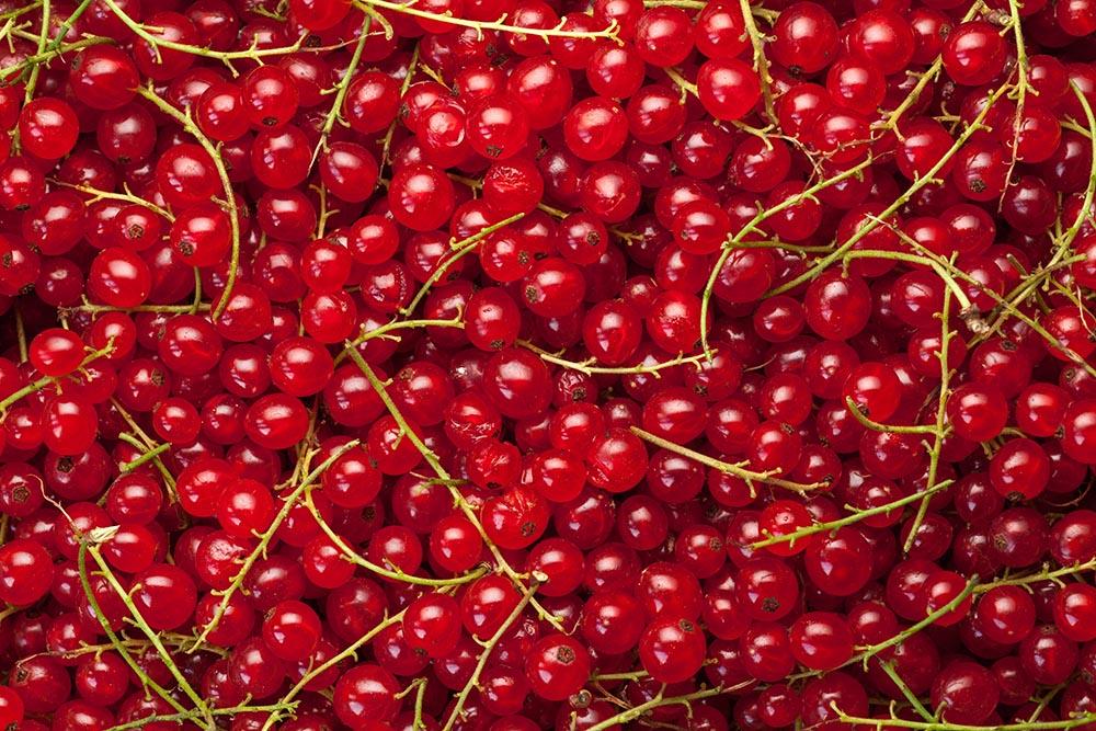 Red currants, photo: Arkadiusz Ziółek/East News