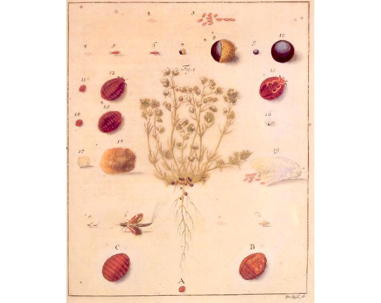 Polish cochineal, Source: Wikimedia