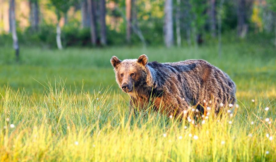 Brown bear, photo: Marcin Dobas /Forum