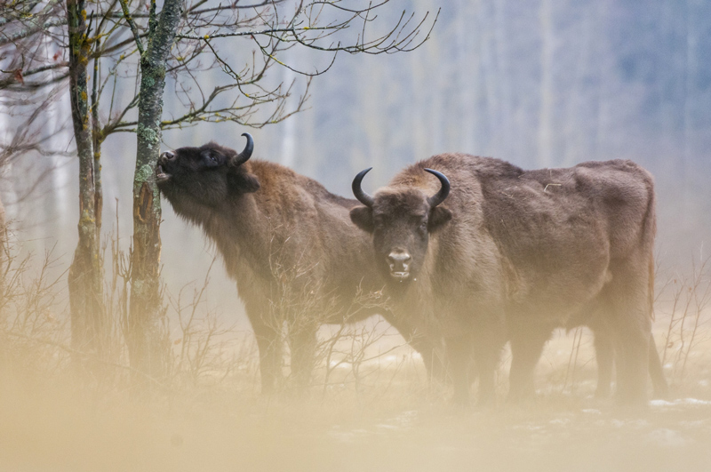 European Bison (Bison bonasus), two adult females feeding on bark at the edge of a forest in Białowieża National Park, photo: Robert Canis / FLPA / East News