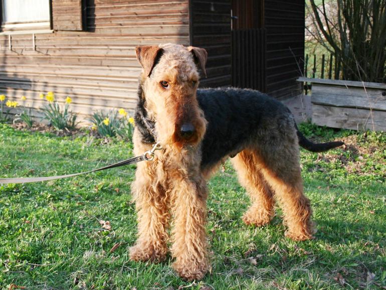 Airedale Terrier, takiej rasy był Gaweł Melchiora Wańkowicza, fot. CC BY-SA 2.0 / Wikimedia