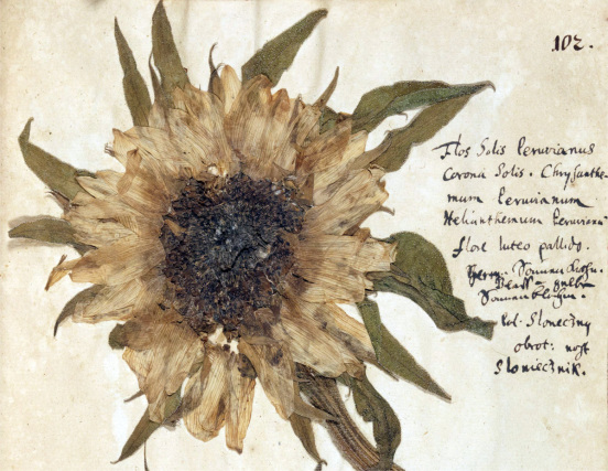 Sunflower from G.A. Helwing's Herbarium; source: Polona.pl