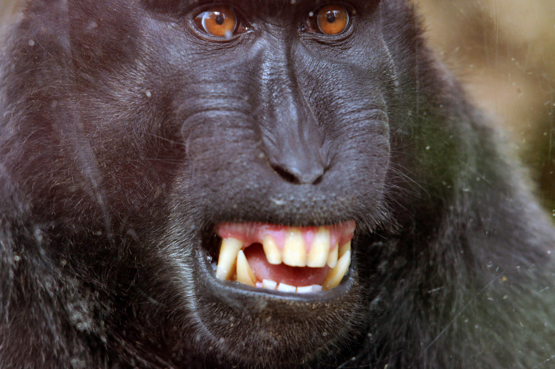 Photograph of an ape, photo source: promotional materials